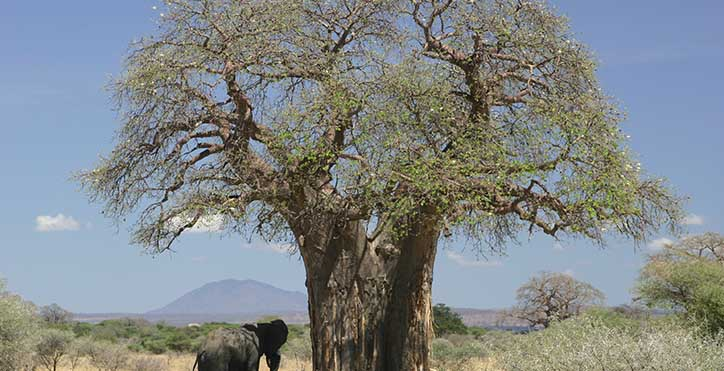 Baobab_and_elephant,_Tanzania_